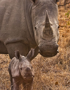 Female Rhino and Three Day old Baby, South Africa