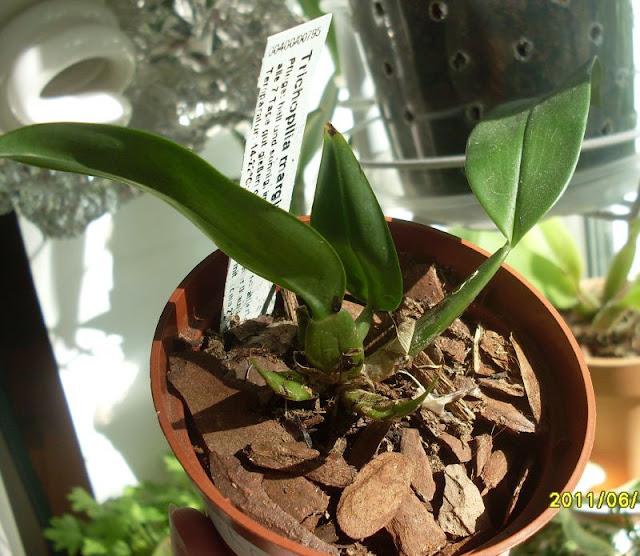 Трихопилия (Trichopilia) - Страница 3 SDC19624