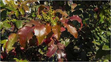 Photo: Mahonia, Strugure de Oregon - (Mahonia aquifolium) - Turda, parcul catedralei - 2019.03.30