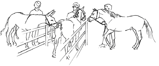 A drawing to illustrate a stimulatory breeding system that can be used in training non-conditioned juvenile or elderly donkeys to mate with mares, or for adult donkeys with low libido that are required to breed mares. On the left the donkey jack being trained is allowed to approach the perineal area of the estrous mare (center), which is restrained and held between a double fence. On the right is a stallion, which is used to elicit estrus that in turn will encourage sexual response in the jack. This drawing was presented and published in the proceedings of the 55th Annual Convention of the American Association of Equine Practitioners, [15].