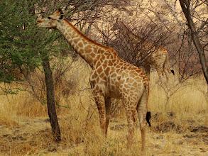 Photo: #007-Girafe (Giraffe) à Epako