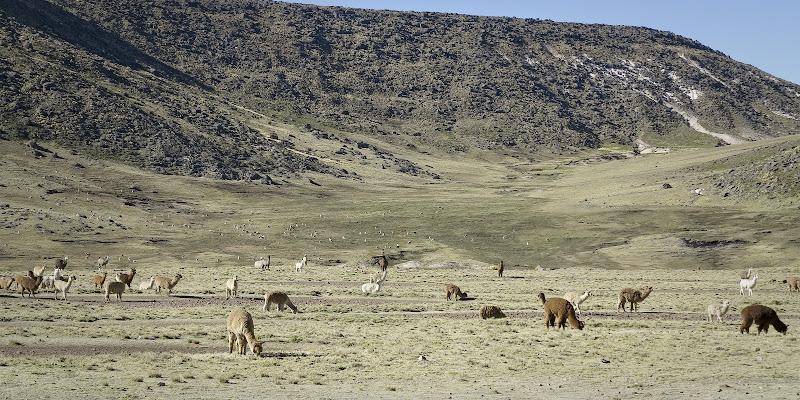 Lama e Alpaca sulle Ande peruviane di alessandro54