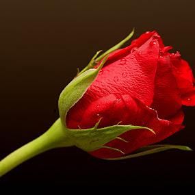 by Vino P - Flowers Flower Buds