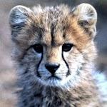 Up and Down Cheetah