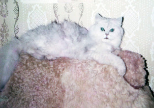Photo: I was own cat chinchila with pedigree