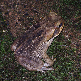 Cane Toad by Sarah Harding - Novices Only Wildlife ( nature, outdoors, novices only, toad, wildlife,  )
