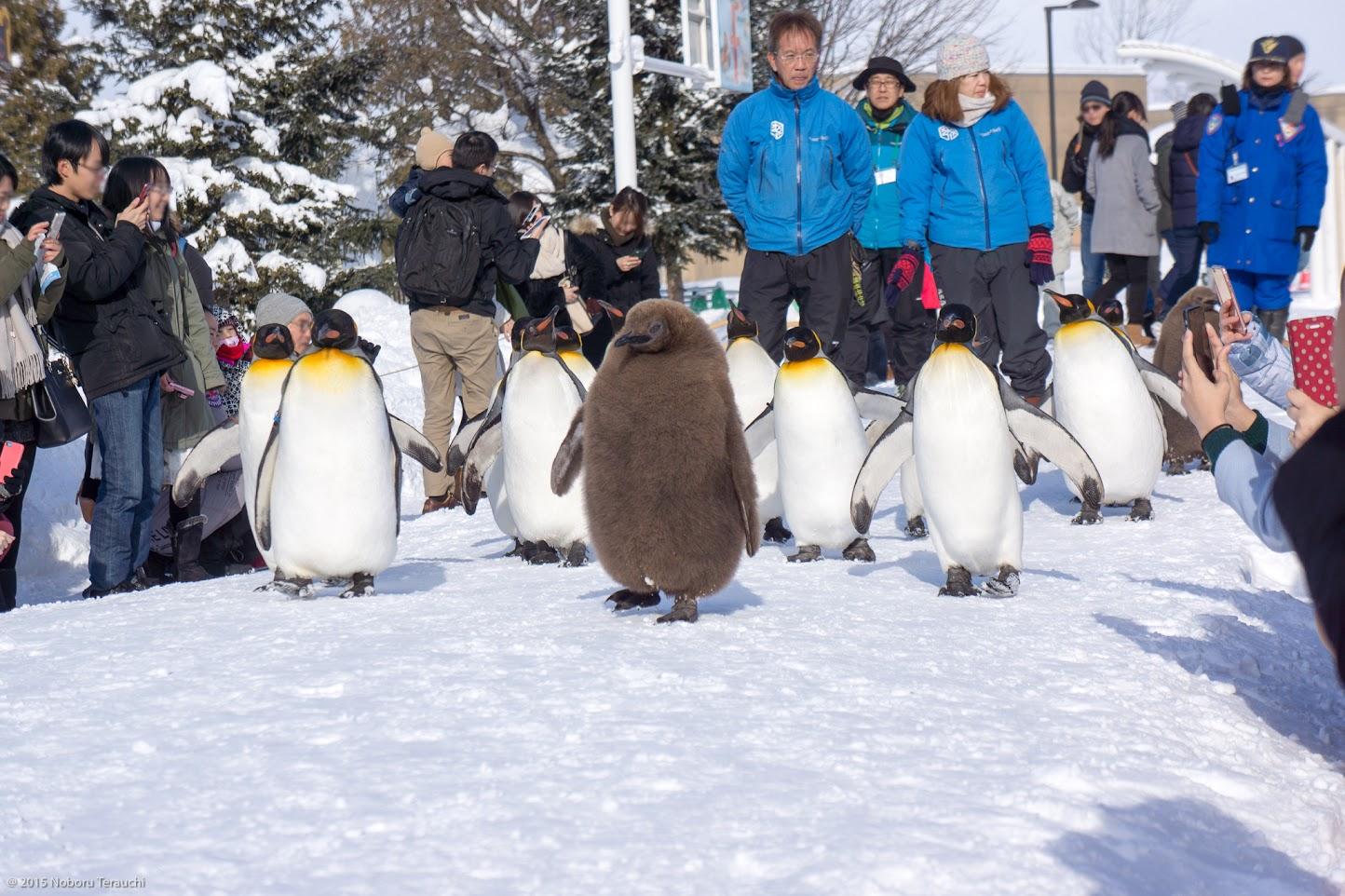 キングペンギンも一緒にお散歩