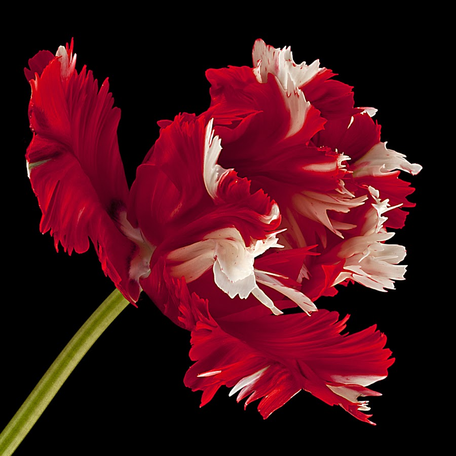 Parrot Tulip by Richard Schofield - Flowers Single Flower ( red, still life, parrot, tulip, white,  )