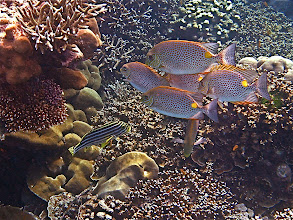 Photo: six yellow-spotted rabbitfish and an Oriental lined sweetlip