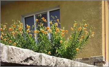 Photo: Crini (Lilium lancifolium) - Turda, Str. Salinelor, intr-o curte - 2019.07.27