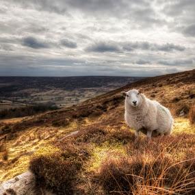 by Martin Tyson - Landscapes Prairies, Meadows & Fields ( hillside, hill, grass, side, yorkshire, martin tyson, moor, moors, land, sheep )