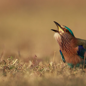 Indian roller by Saumitra Shukla - Animals Birds ( bird, color, wildlife, beauty, travel, close up, animal, indian roller )