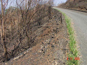 Photo: Australia: The vetiver hedgerow (previous image) fully recovered at 6 weeks - Paul Truong