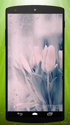 Rainy Tulips Live Wallpaper