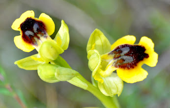 Photo: Ophrys sicula