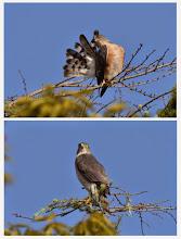 Photo: 撮影者:村山和夫 ツミ タイトル:ツミ現る 観察年月日:2014年9月22日 羽数:2羽(成鳥雄、雌) 場所:八王子市内 区分:猛禽 メッシュ:八王子4H コメント:この場所で2月からペアを確認しています。春の交尾、夏の若鳥を観察していますので繁殖していた可能性があります。今日は雄が羽繕いでリラックスしている場所を雌が乗っ取りました。この時期でもペアは形成されているのでしょうか?