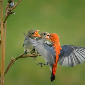 Breakfast by Indrawaty Arifin - Animals Birds ( scarlet, fly, wings, feeding, birds,  )