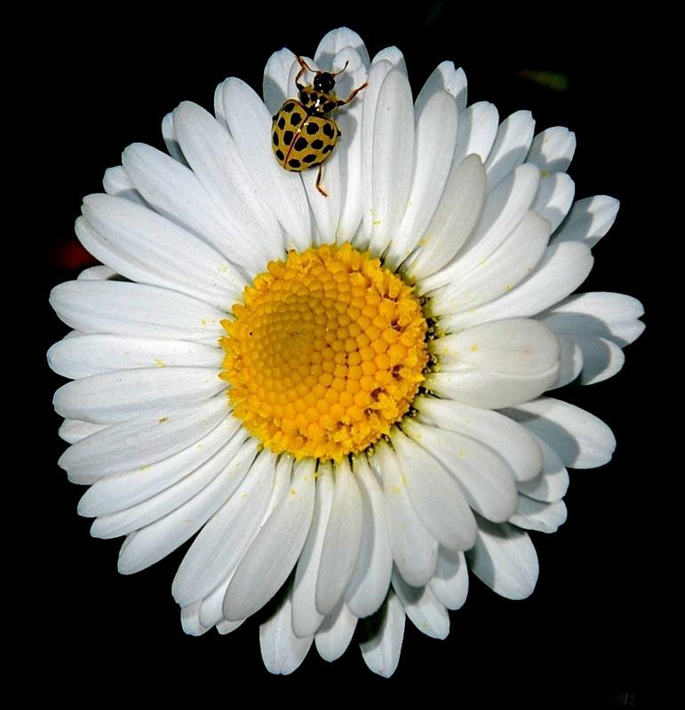 Il fiore e la coccinella di Luciano Fontebasso