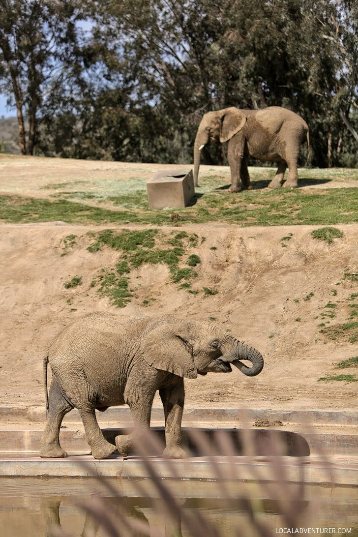 Elephants San Diego Wild Animal Park.