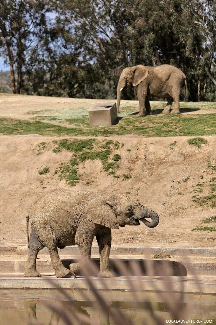 Elephants San Diego Wild Animal Park.