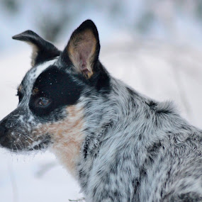 by Mandy Schram - Animals - Dogs Portraits