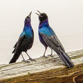 Dueling Birds by Richard Michael Lingo - Animals Birds ( georgia, sing, animals, birds, tybee island,  )