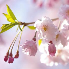 Japanese Flowers HD Wallpapers