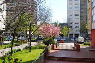Photo: Cerdeira xaponesa florida http://herbasdoghafos.blogspot.com.es/2015/04/cerdeira-xapones-florida.html