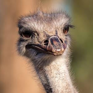 Ostrich-11.jpg