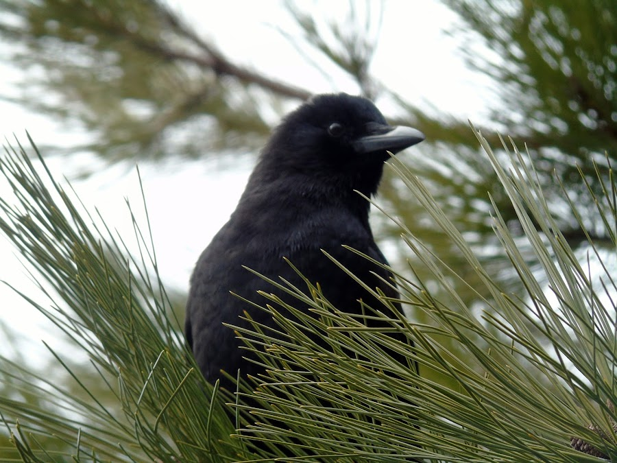 BLACK BIRD by Cynthia Dodd - Novices Only Wildlife ( bird, animals, tree, nature, wildlife, birds )