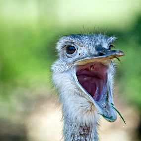 What the..! by Vamsi Korabathina - Animals Birds ( bird, wild, open, ostrich, birds, shout )