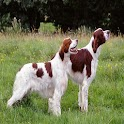 Irish Red and White Setter icon