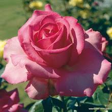 Photo: Edelrose Esmeralda - Kordes Rose Esmeralda®, Züchter: W. Kordes' Söhne 1980
