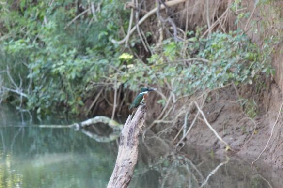 Photo: Amazon Kingfisher along Barton Creek
