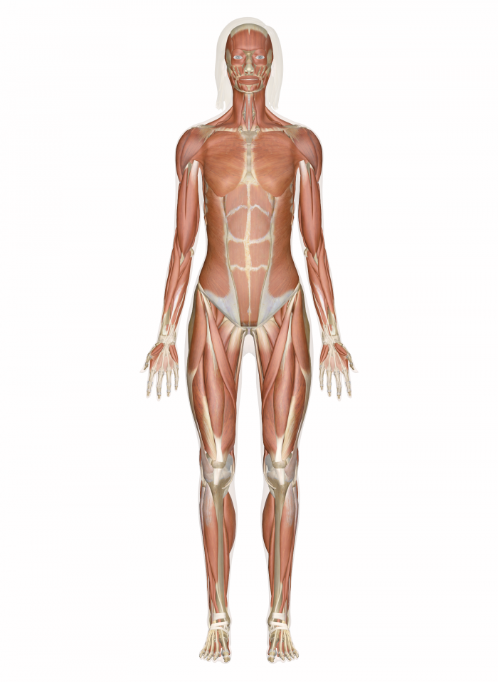 Human Body 20 Muscular System