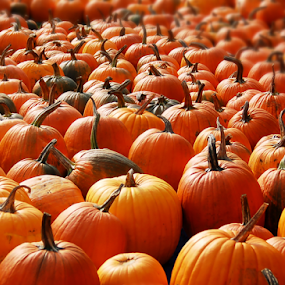 Pumpkin Harvest by Robin Amaral - Public Holidays Halloween ( farmers market, pumpkins, halloween, pumpkin hunt, new england, autumn colors, farm, pumpkin patch, harvest festival )