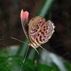Malay Red Harlequin Butterfly