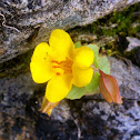 Yellow Monkeyflower