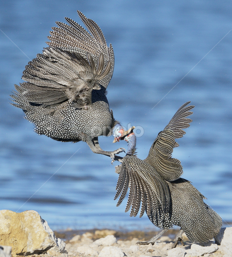 Fight! by Neal Cooper - Animals Birds ( fight, guinea fowl )