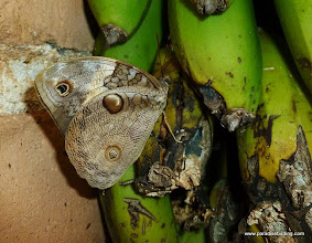 Photo: Split-banded Owlet on bananas, Rancho Primavera, near Tuito, Jalisco