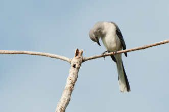 Photo: Tropical Mockingbird (Tropenspottdrossel); Bacalar, QR