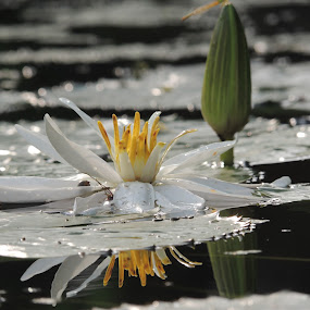 Lotus reflection by Amol Patil - Nature Up Close Flowers - 2011-2013 ( lotus, reflection, nature, flowers, photography )