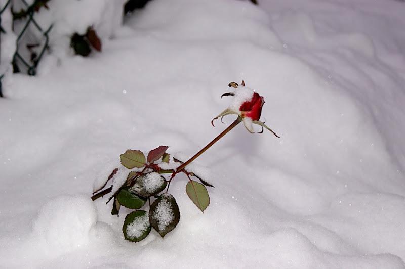 Una rosa nella neve di paolod