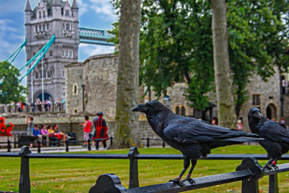 Ravens inside the Tower of London