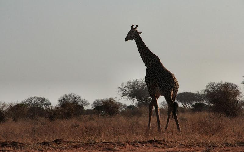 Giraffa solitaria di smpaint