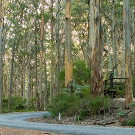Giant Karri tree forest by Clarissa Human - Landscapes Forests ( forests, nature, australia, trees, perspective, forest, road,  )