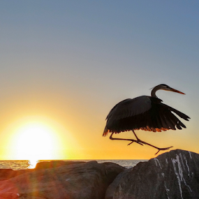 { Heron jumping amoung the boulders at Sunset }  by Jeffrey Lee - Landscapes Sunsets & Sunrises ( { heron jumping amoung the boulders at sunset } )