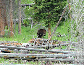 Photo: Bear in Yellowstone. This (taken with a zoom lens) is as close as we got -- I'm not complaining!