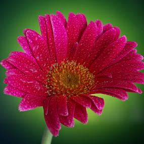 Gerbera by Sam Song - Flowers Single Flower