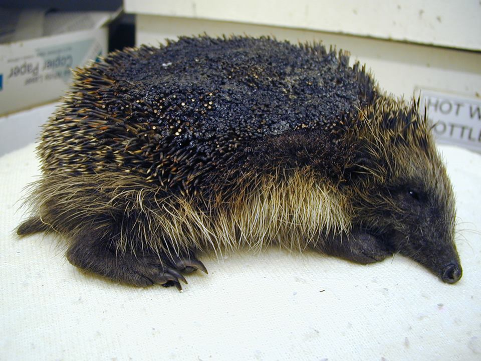 Hedgehog - Bonfire (BHPS - Stapeley Grange) Oct 2014.jpg